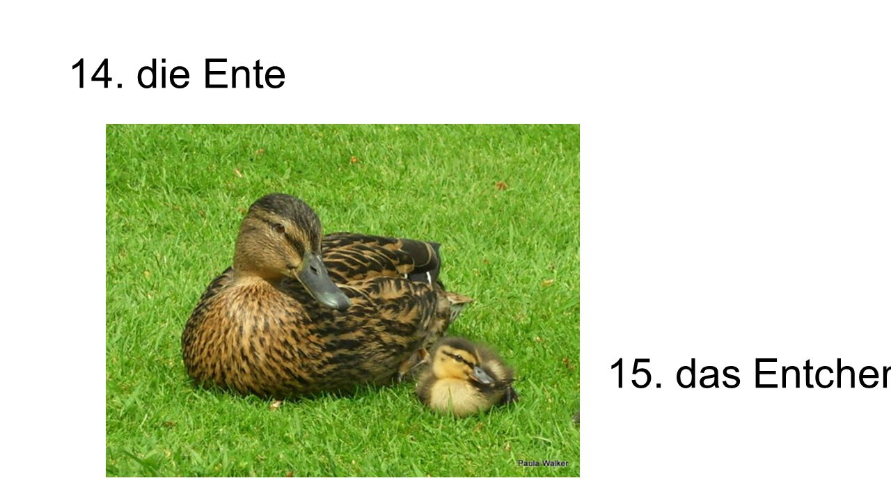 14. die Ente 15. das Entchen