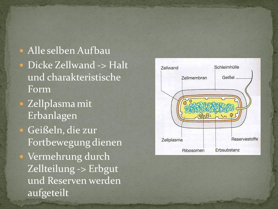Alle selben Aufbau Dicke Zellwand -> Halt und charakteristische Form. Zellplasma mit Erbanlagen.