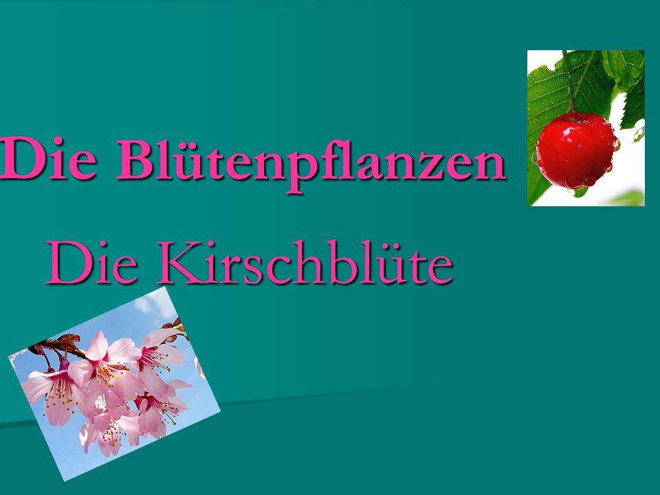 Die Blütenpflanzen Die Kirschblüte