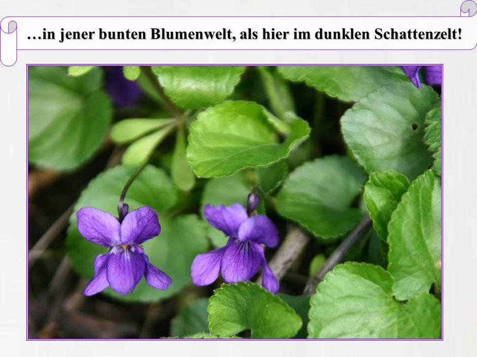 …in jener bunten Blumenwelt, als hier im dunklen Schattenzelt!