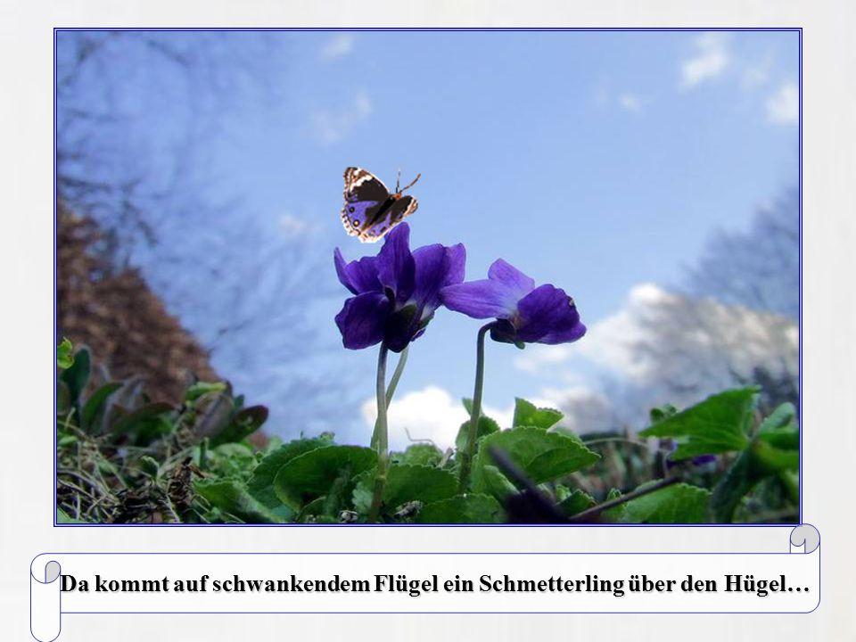 Da kommt auf schwankendem Flügel ein Schmetterling über den Hügel…