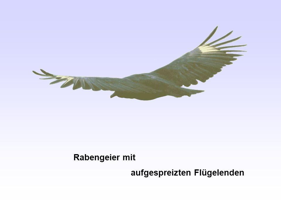 Rabengeier mit aufgespreizten Flügelenden