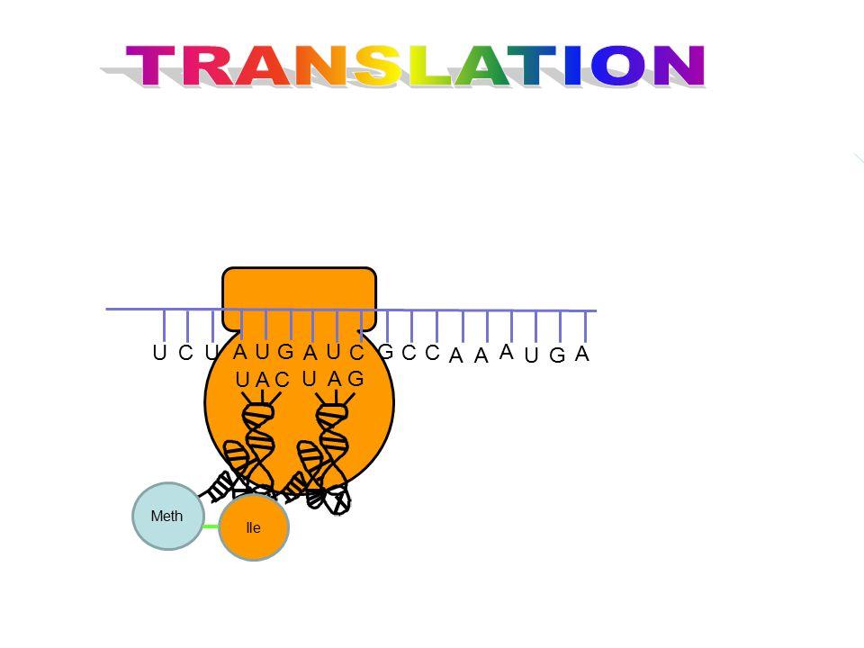 TRANSLATION G U C A U A C U A G Ile Meth