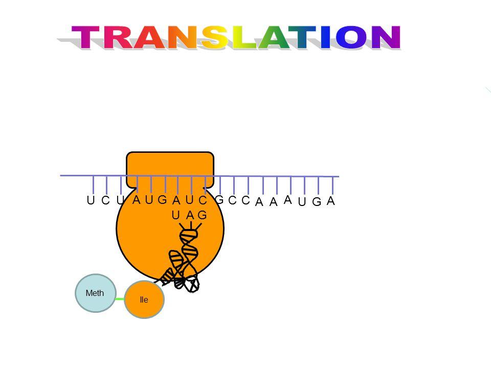 TRANSLATION G U C A U A G Ile Meth