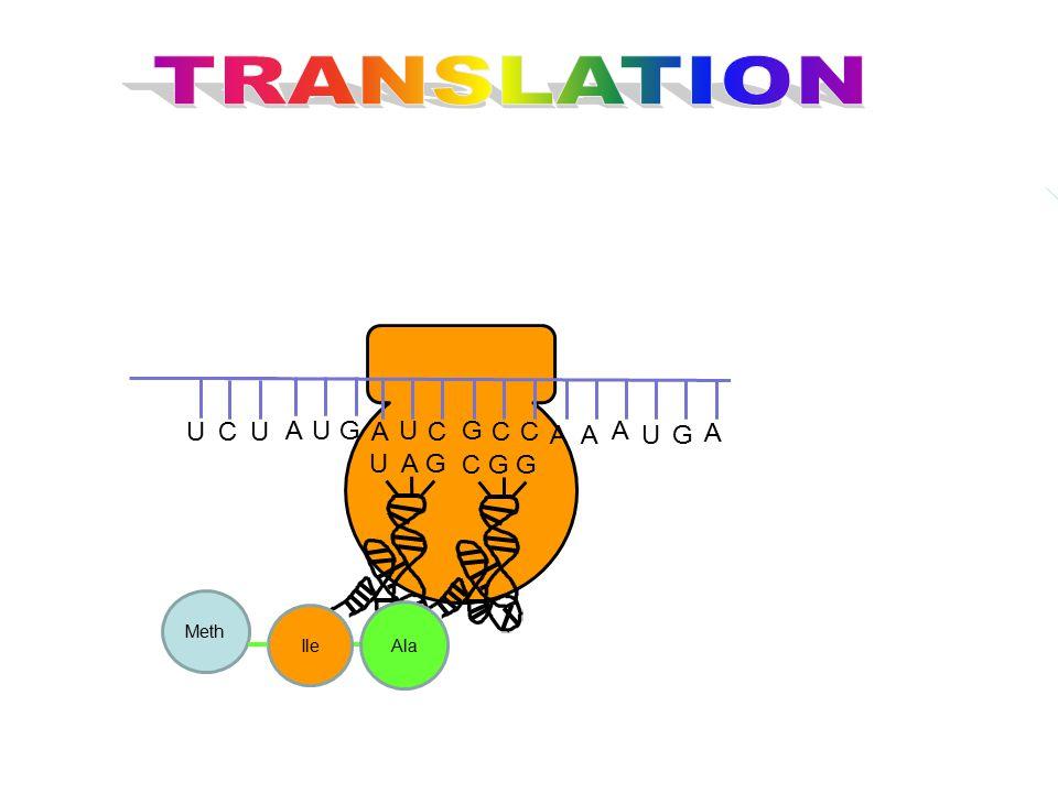 TRANSLATION G U C A U A G C G G Ala Meth Ile