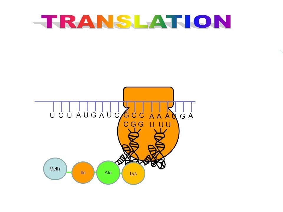 TRANSLATION G U C A C G G U U U Lys Meth Ile Ala