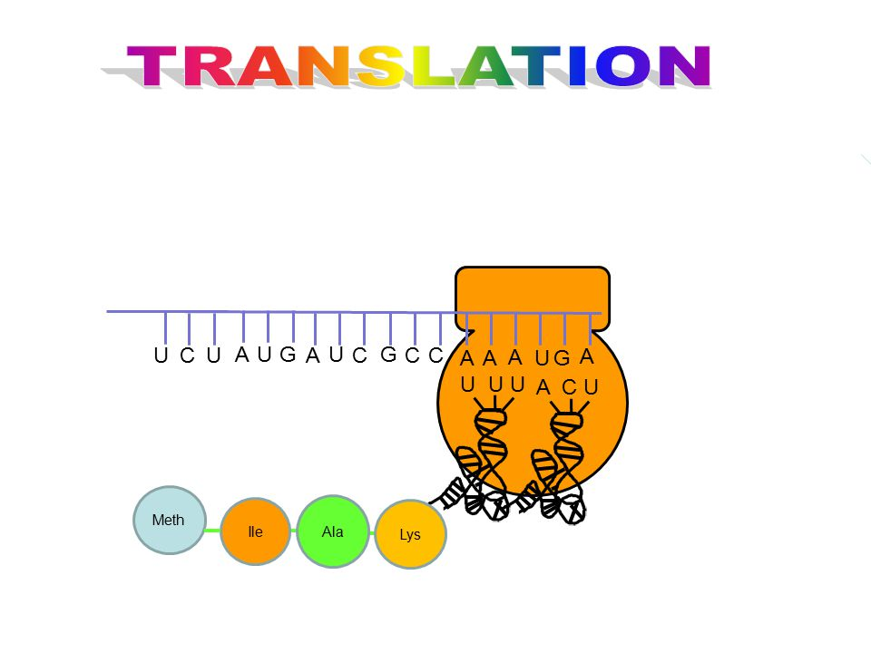 TRANSLATION G U C A U U U A C U Meth Ile Ala Lys