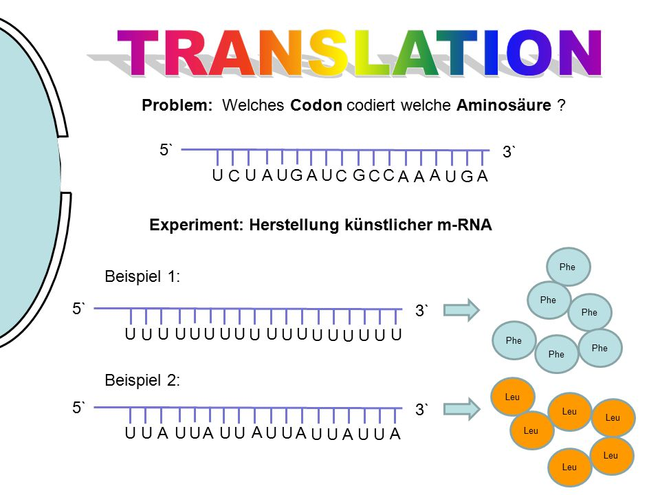 TRANSLATION Problem: Welches Codon codiert welche Aminosäure G U C A