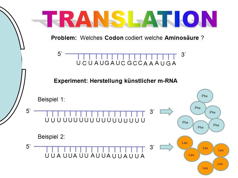 TRANSLATION Problem: Welches Codon codiert welche Aminosäure G U C A
