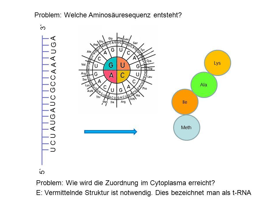 Problem: Welche Aminosäuresequenz entsteht