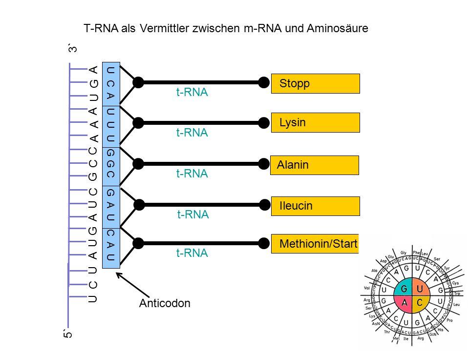 T-RNA als Vermittler zwischen m-RNA und Aminosäure