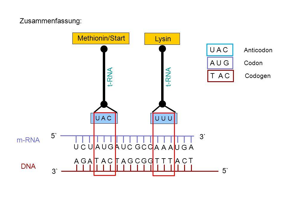 Zusammenfassung: Methionin/Start Lysin U A C A U G t-RNA t-RNA T A C G