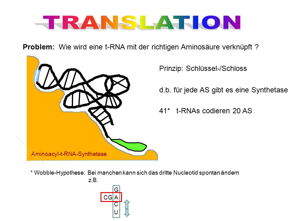 TRANSLATION Problem: Wie wird eine t-RNA mit der richtigen Aminosäure verknüpft Prinzip: Schlüssel-/Schloss.