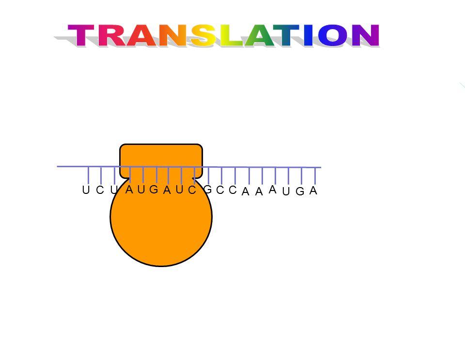 TRANSLATION G U C A U A C Meth