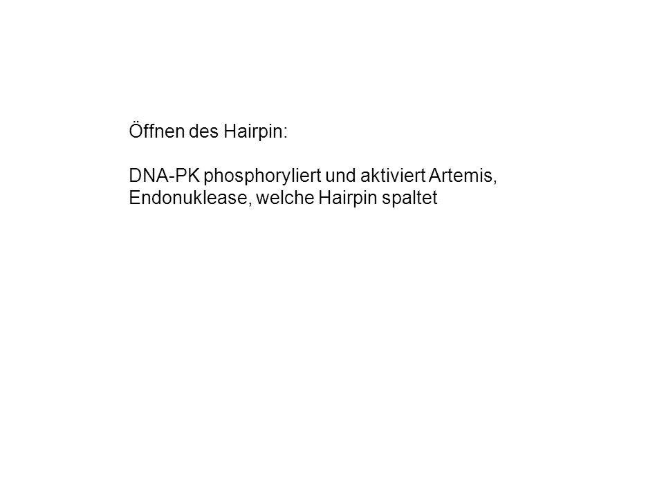 Öffnen des Hairpin: DNA-PK phosphoryliert und aktiviert Artemis, Endonuklease, welche Hairpin spaltet.