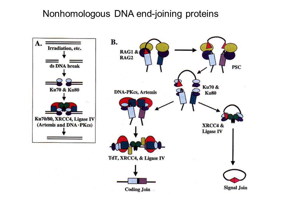 Nonhomologous DNA end-joining proteins