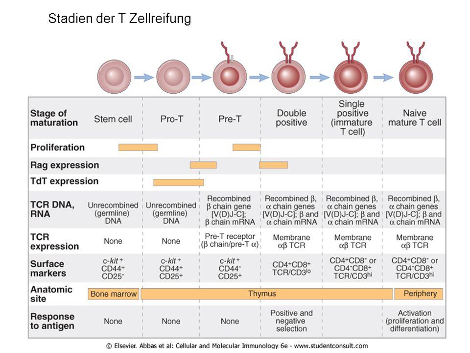 Stadien der T Zellreifung