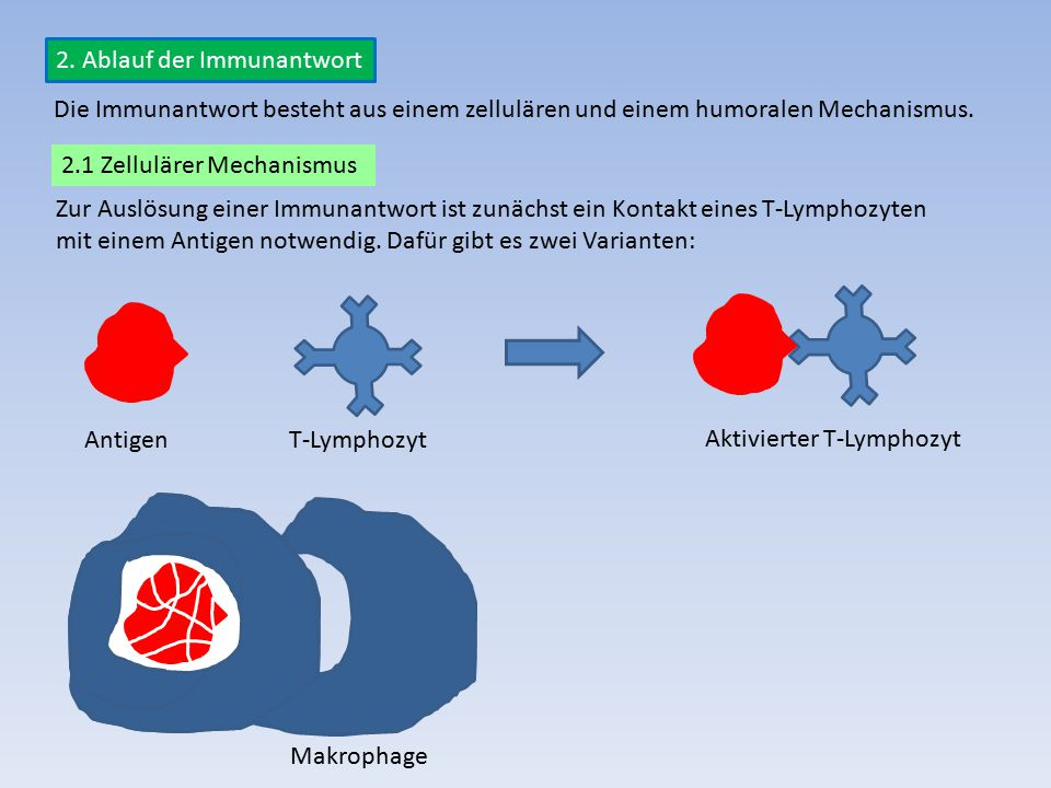 2. Ablauf der Immunantwort