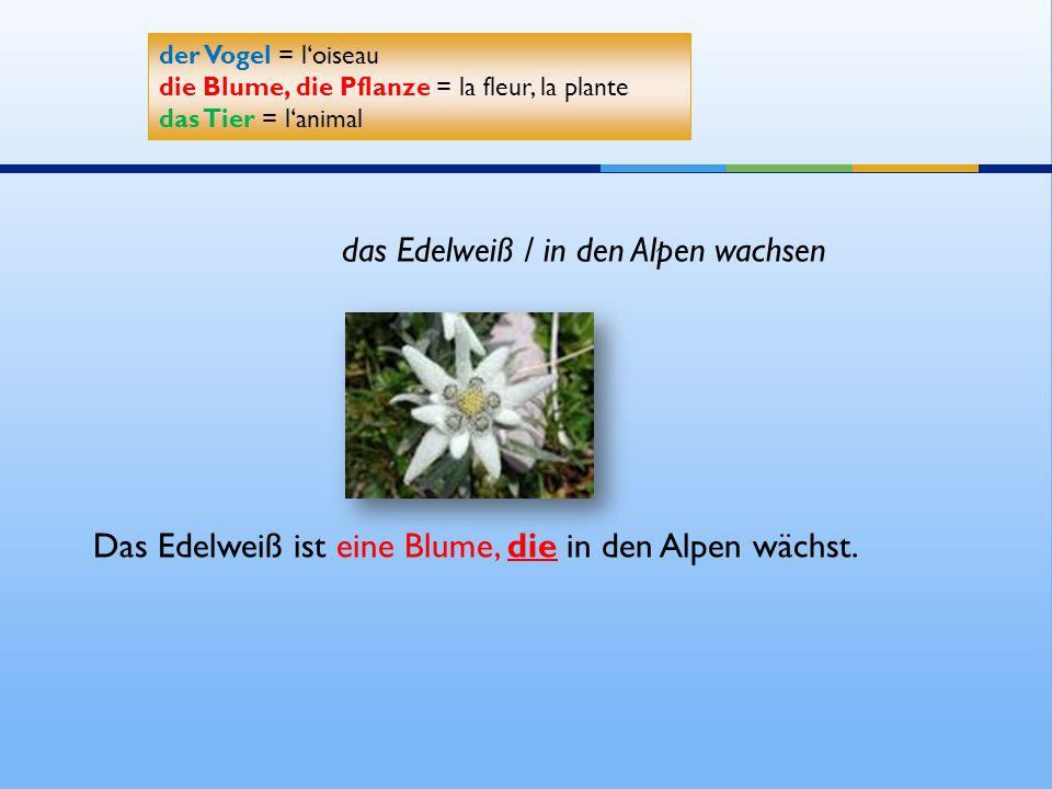 das Edelweiß / in den Alpen wachsen