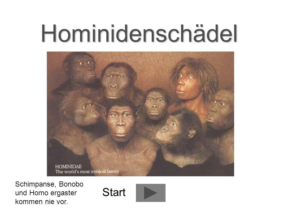 Hominidenschädel Start