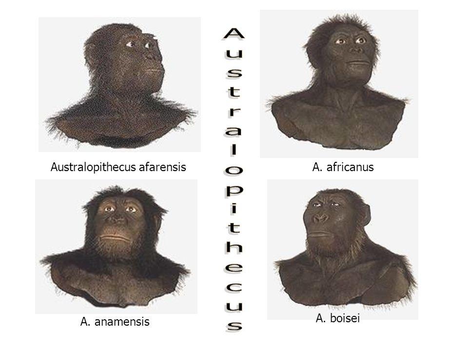 Australopithecus Australopithecus afarensis A. africanus A. boisei