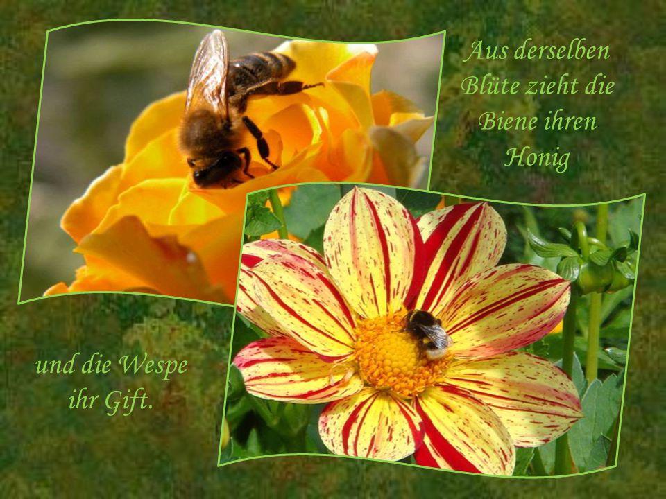 Aus derselben Blüte zieht die Biene ihren Honig
