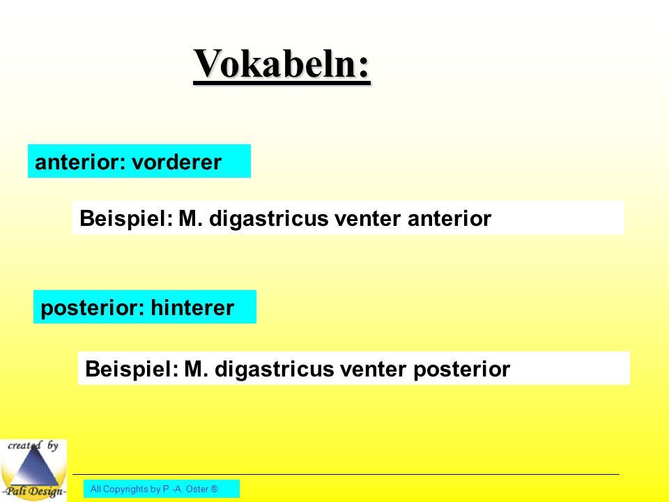 Vokabeln: anterior: vorderer Beispiel: M. digastricus venter anterior