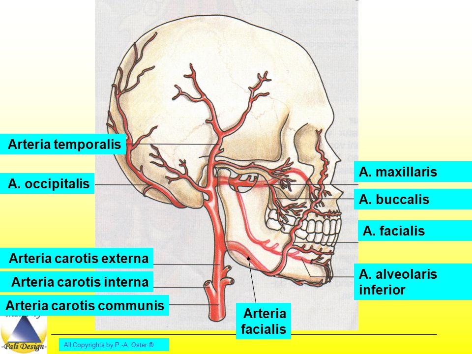 Arteria carotis externa A. alveolaris inferior Arteria carotis interna