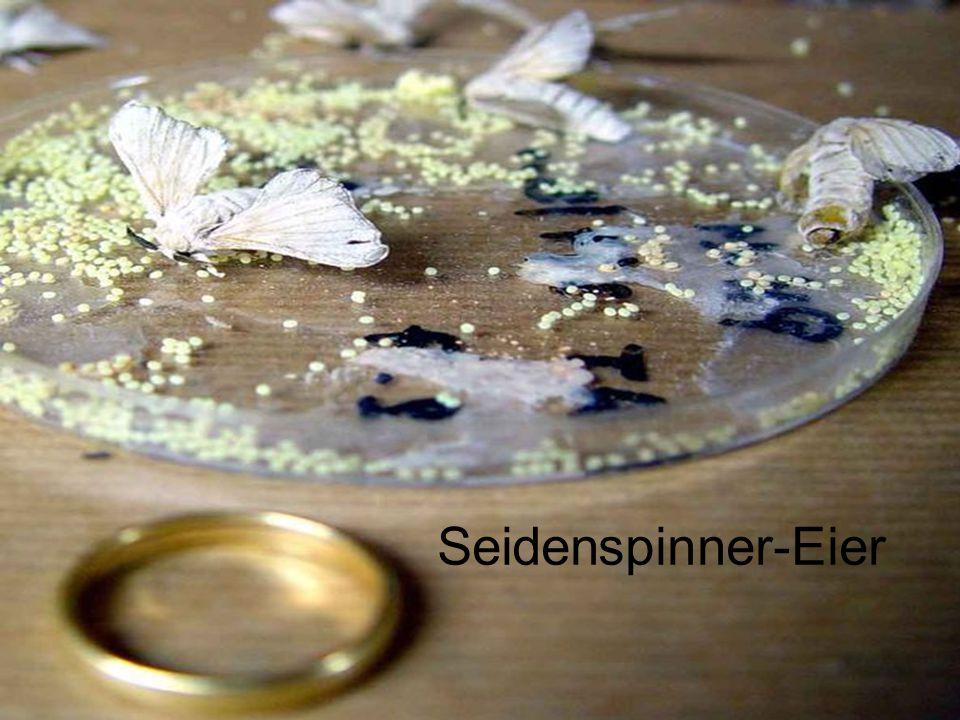 Seidenspinner-Eier