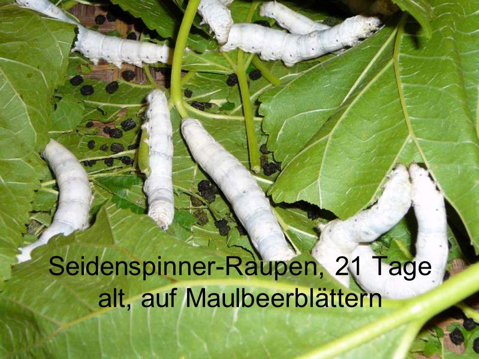 Seidenspinner-Raupen, 21 Tage alt, auf Maulbeerblättern
