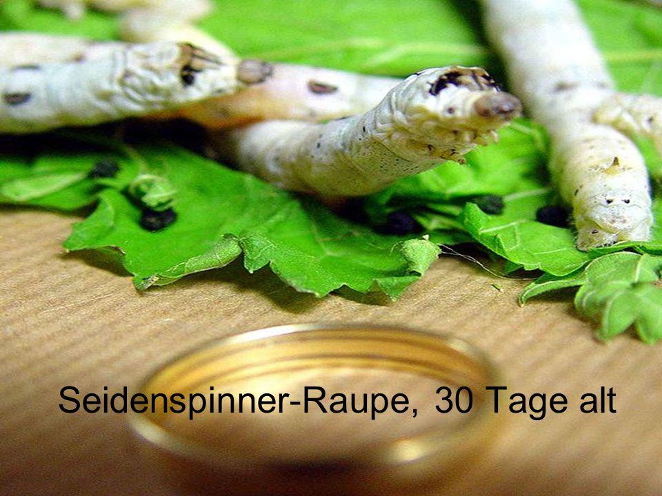Seidenspinner-Raupe, 30 Tage alt