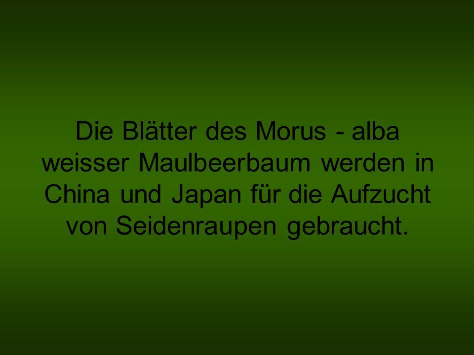 Die Blätter des Morus - alba weisser Maulbeerbaum werden in China und Japan für die Aufzucht von Seidenraupen gebraucht.