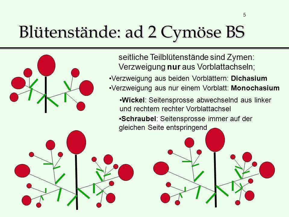 Blütenstände: ad 2 Cymöse BS