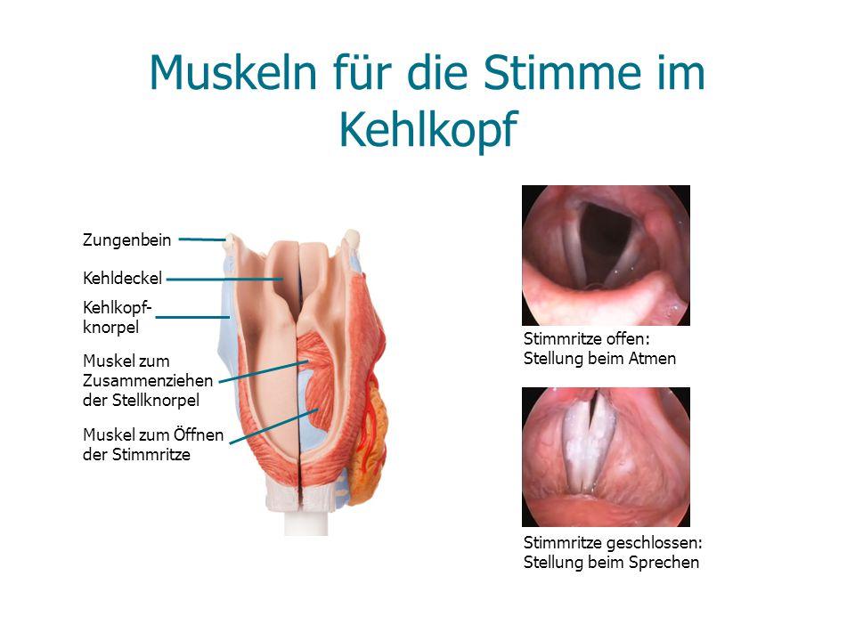 Muskeln für die Stimme im Kehlkopf