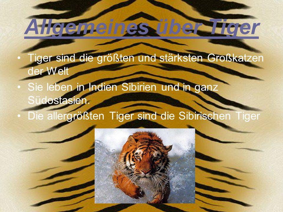 Allgemeines über Tiger