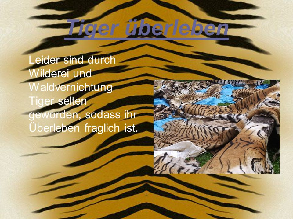 Tiger überleben Leider sind durch Wilderei und Waldvernichtung Tiger selten geworden, sodass ihr Überleben fraglich ist.