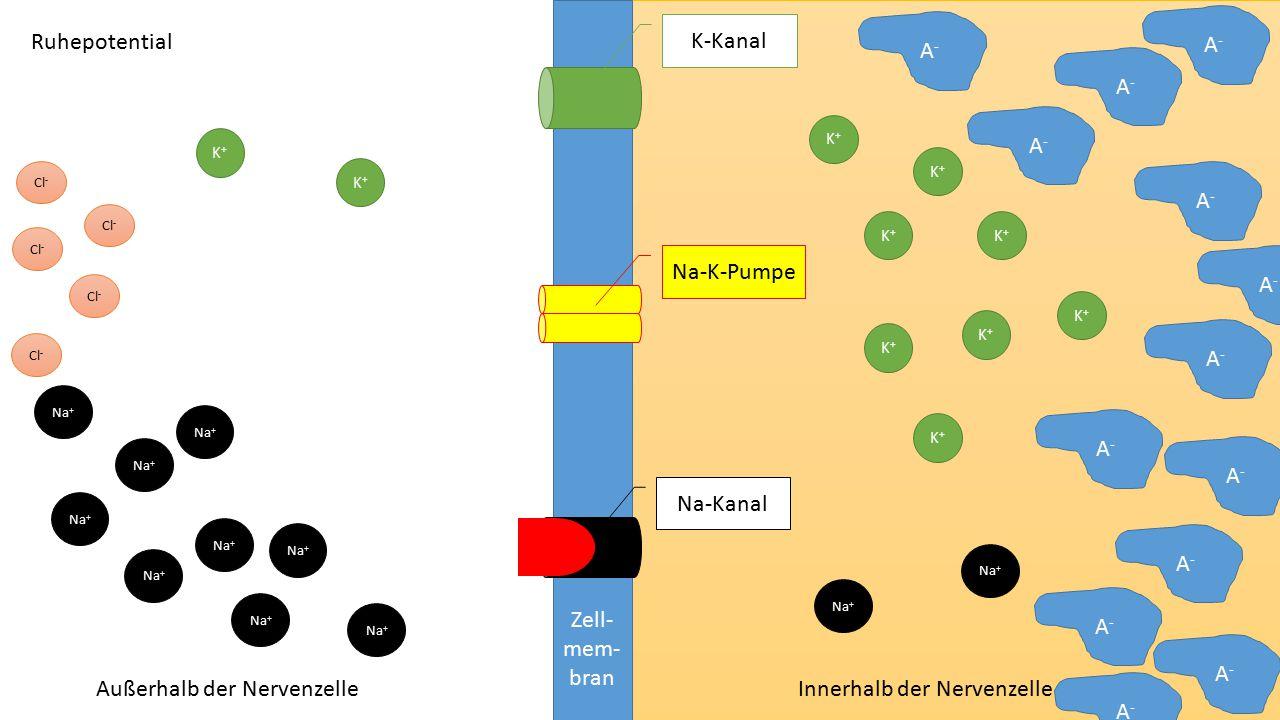 Außerhalb der Nervenzelle Innerhalb der Nervenzelle A-