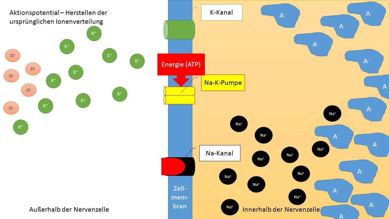 Aktionspotential – Herstellen der ursprünglichen Ionenverteilung A-
