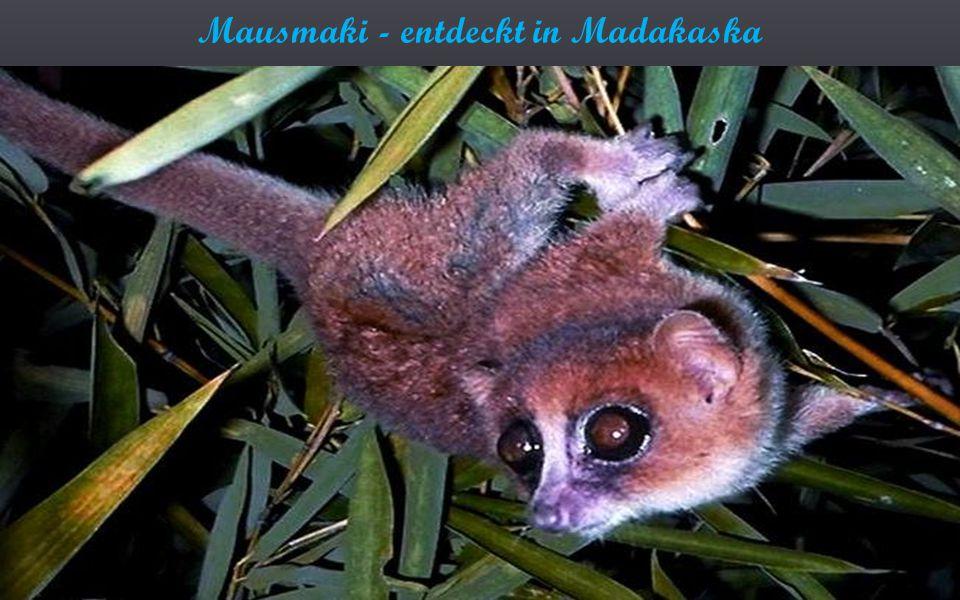 Mausmaki - entdeckt in Madakaska