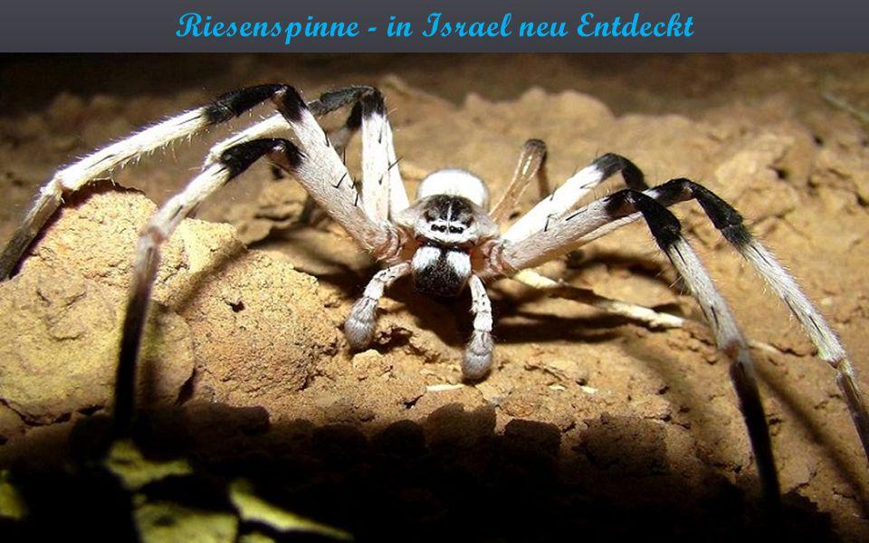 Riesenspinne - in Israel neu Entdeckt