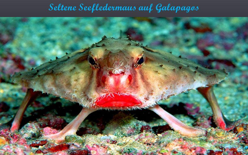 Seltene Seefledermaus auf Galapagos