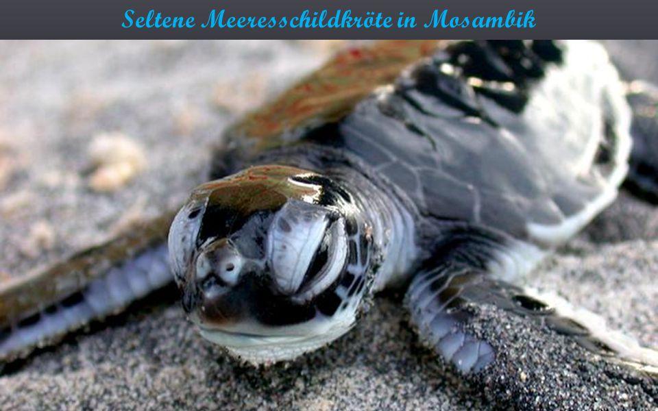Seltene Meeresschildkröte in Mosambik