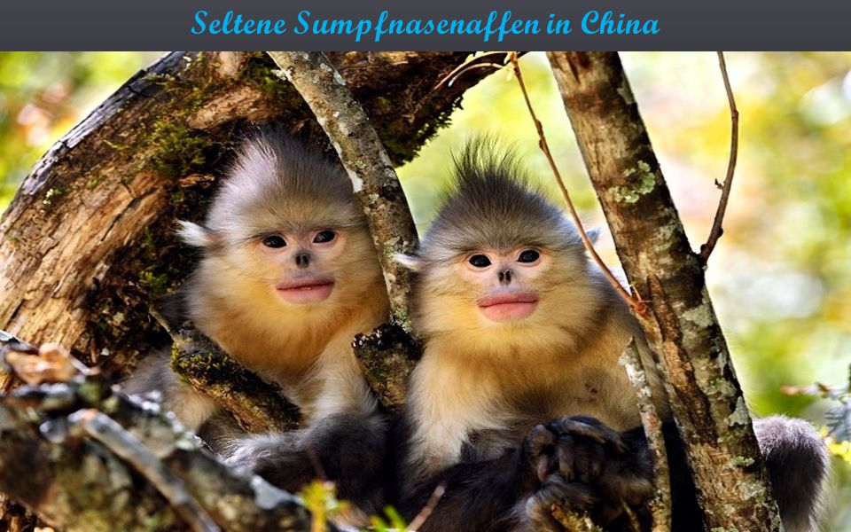 Seltene Sumpfnasenaffen in China
