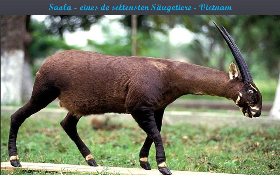Saola - eines de seltensten Säugetiere - Vietnam
