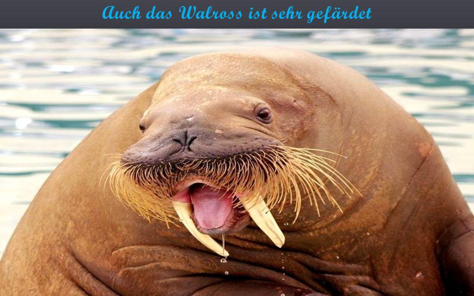 Auch das Walross ist sehr gefärdet