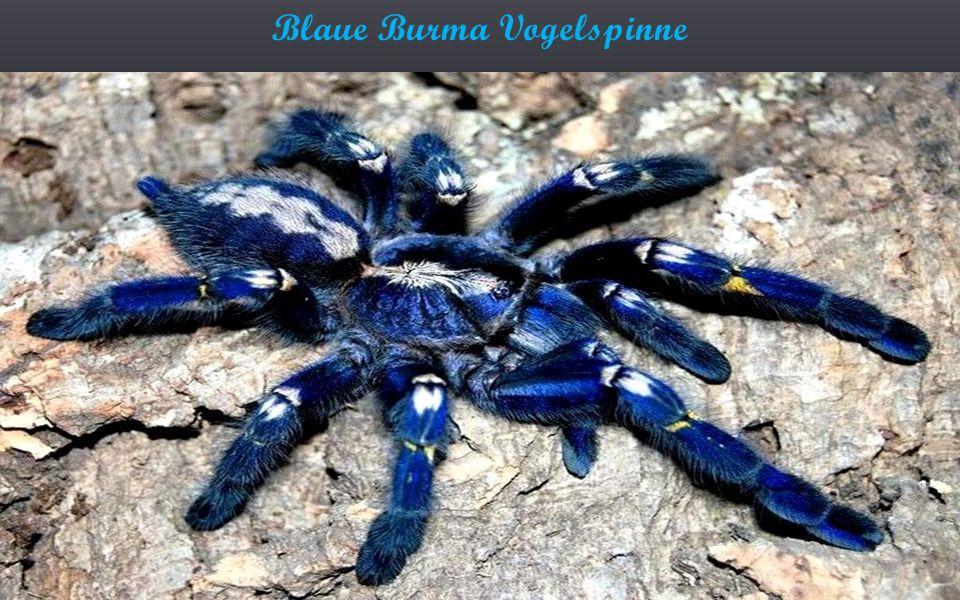 Blaue Burma Vogelspinne