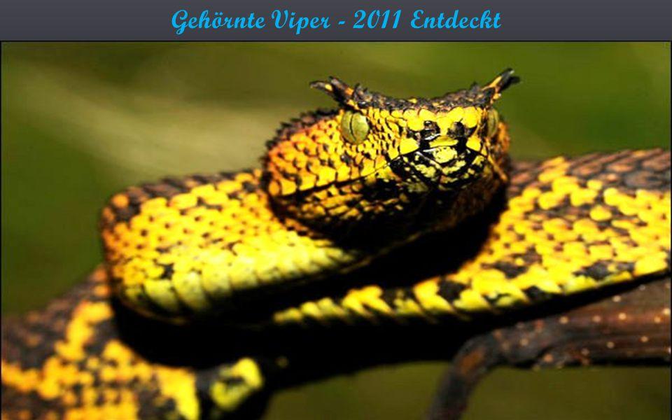 Gehörnte Viper - 2011 Entdeckt