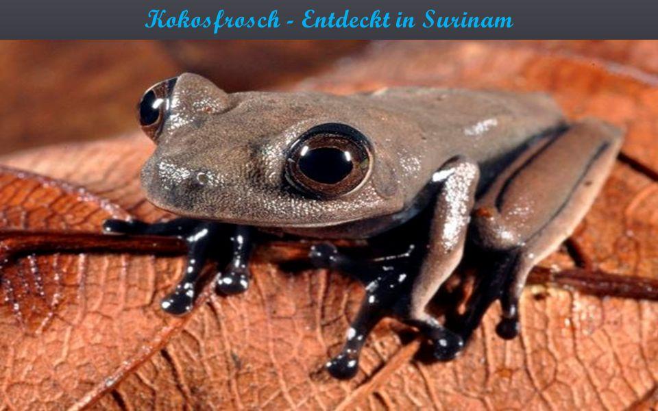 Kokosfrosch - Entdeckt in Surinam