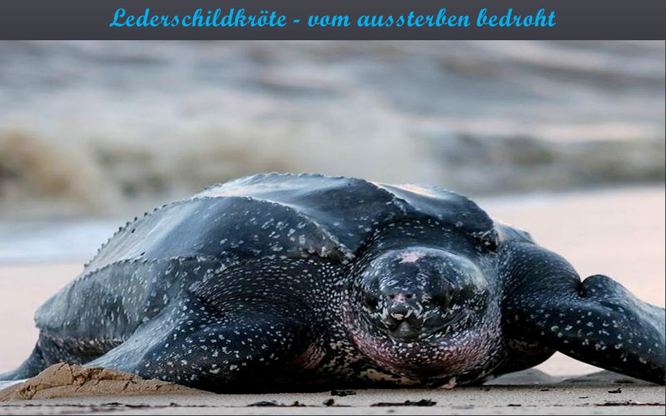 Lederschildkröte - vom aussterben bedroht