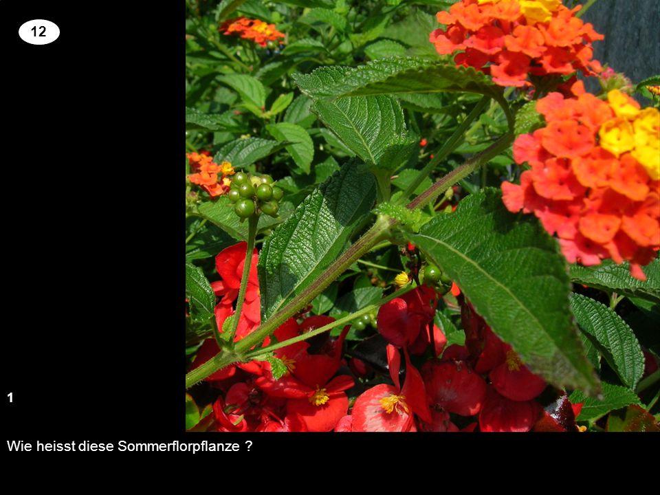 Wie heisst diese Sommerflorpflanze